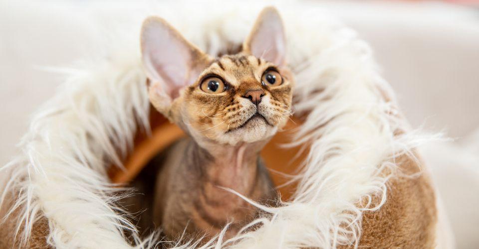 Retrato de raza de gato pequeño Devon rex