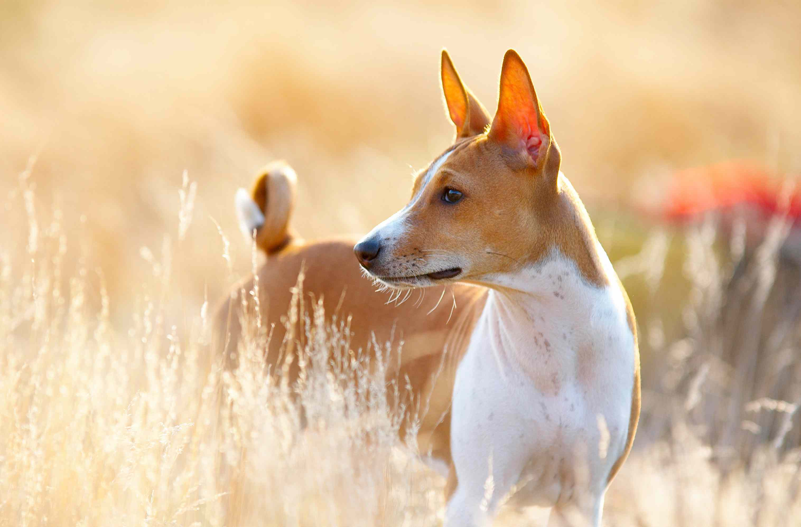 A brown and white dog standing in a wheat field.