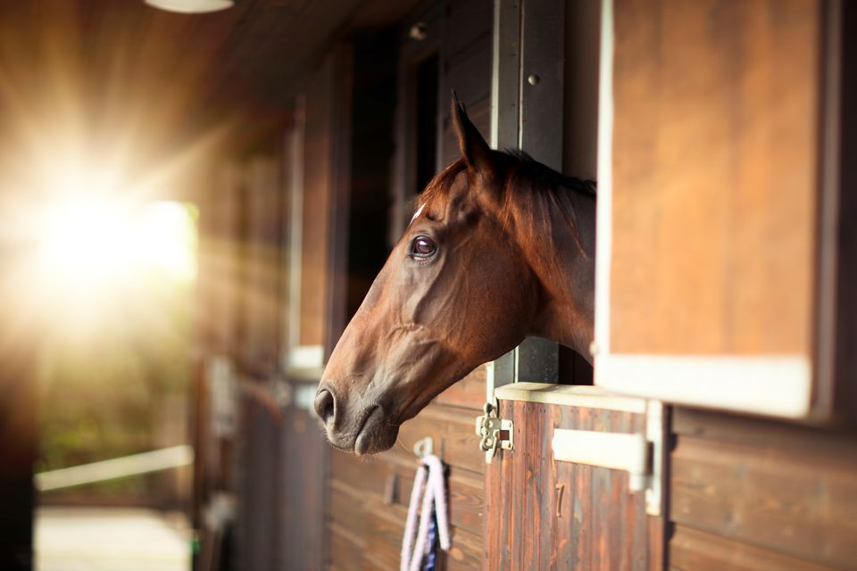 Thoroughbred looking out of a stable stall
