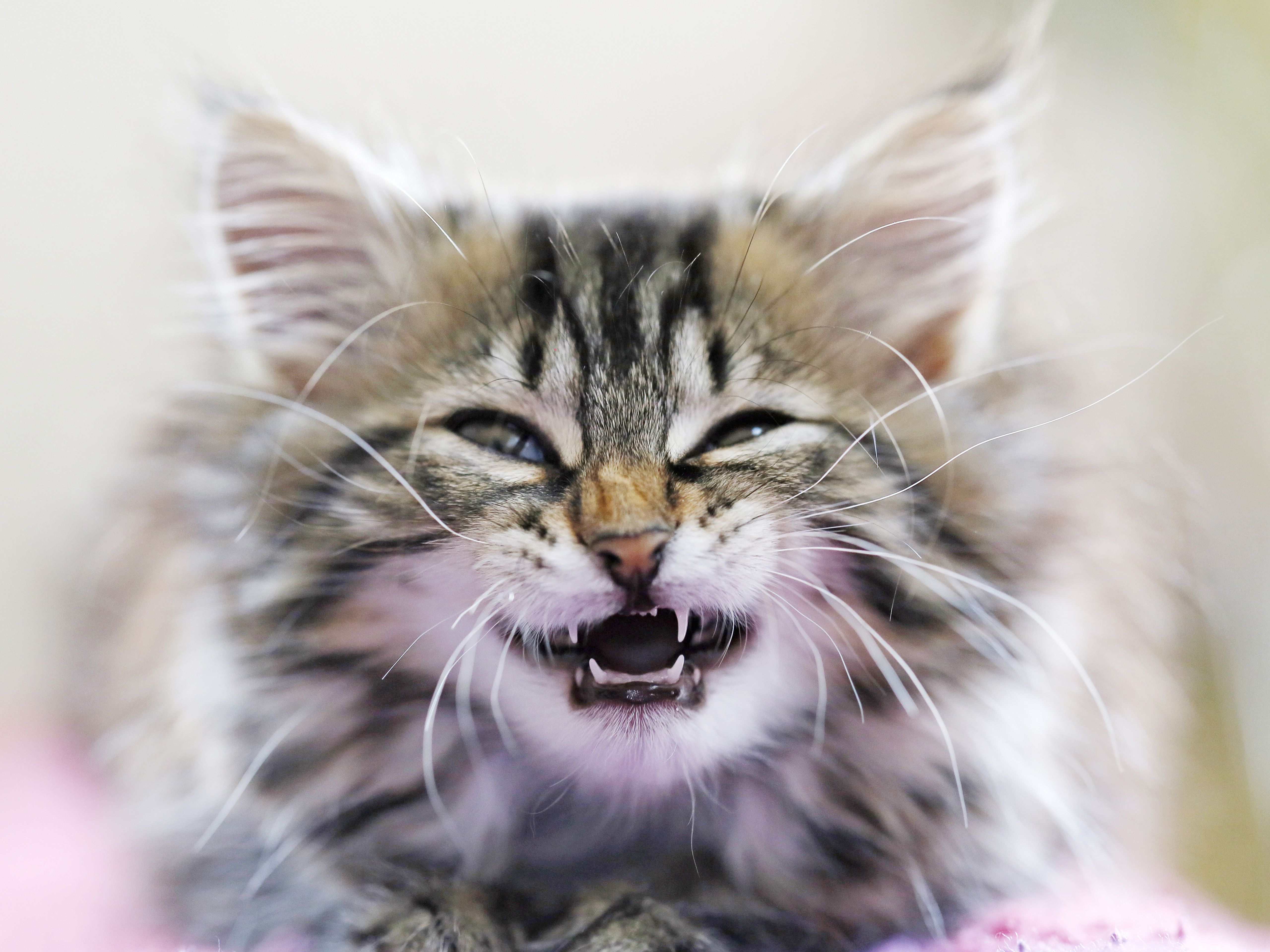 seine et marne close up of a female kitten under 10 weeks trying to show its teeth deciduous teeth norwegian cat breed 5c4c16e0c9e77c f3436