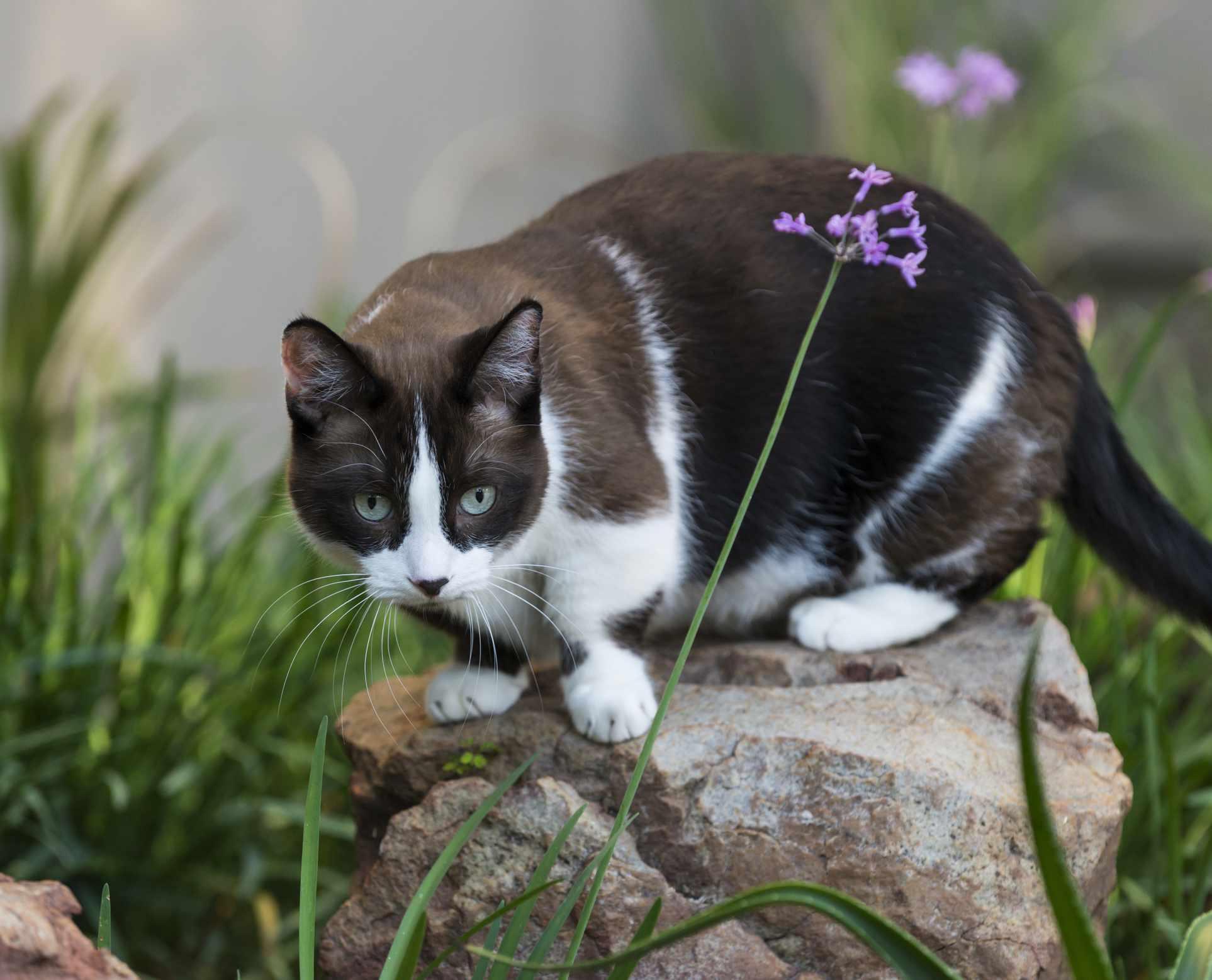 Black and white Munchkin cat
