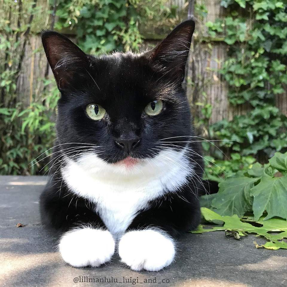 Close-up of a tuxedo cat looking into the camera
