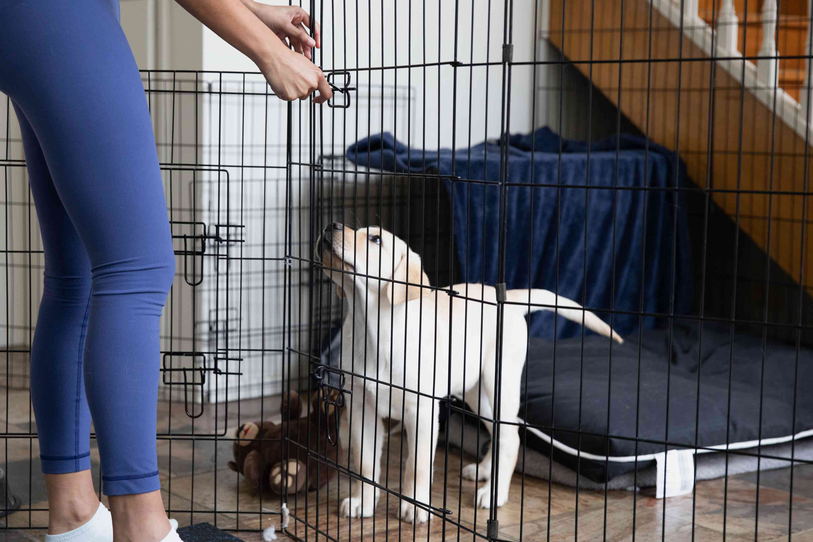 White labrador puppy standing behind opening in indoor wire fence
