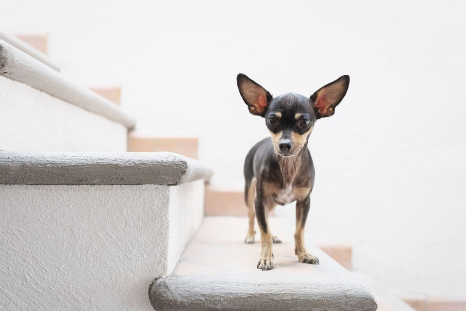 Black and brown Chihuahua standing on stairs.