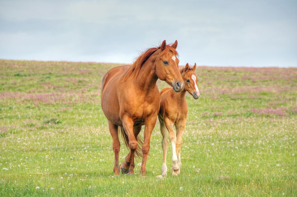 Chestnut mare and foal in a pasture