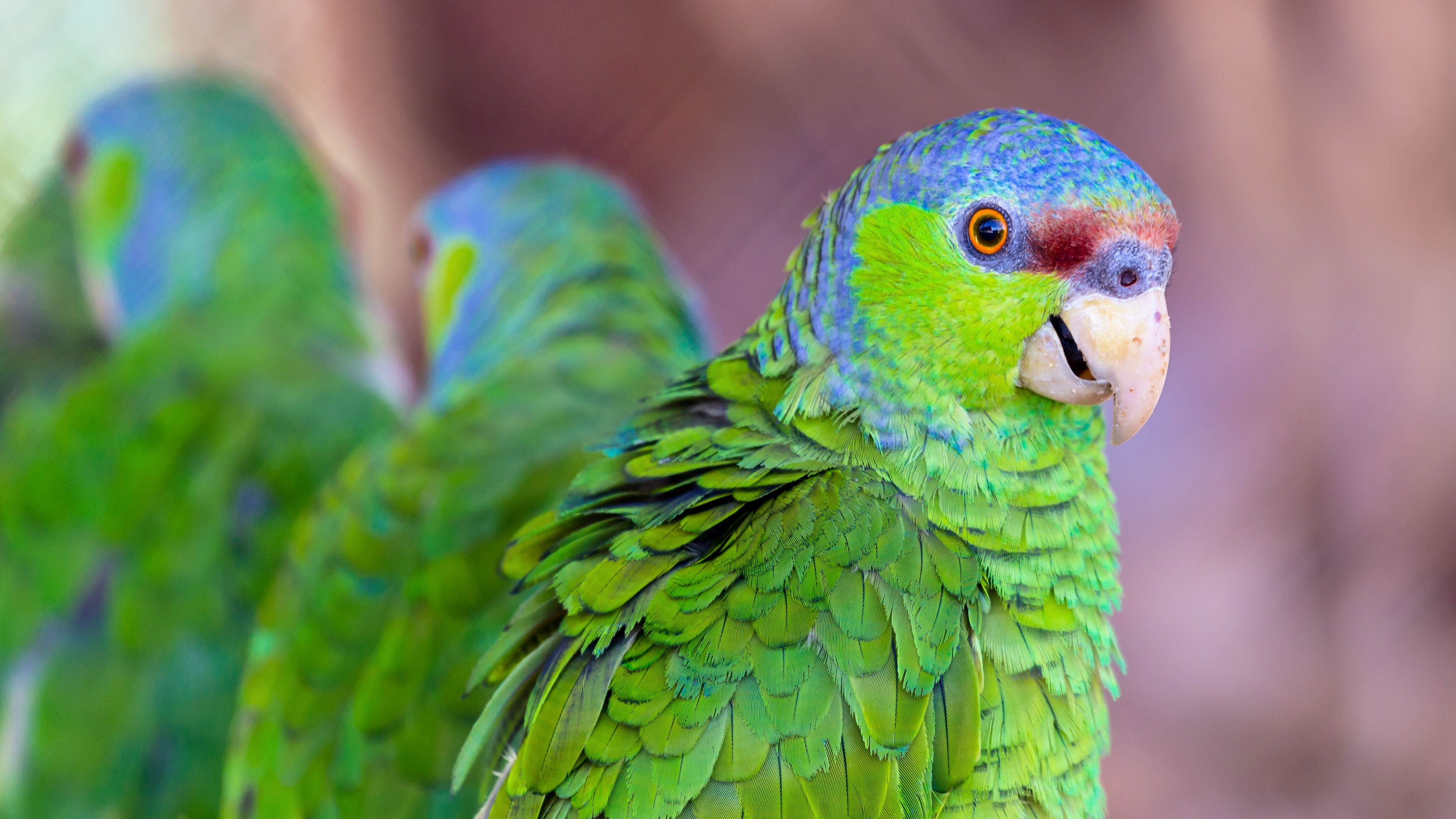 Lilac Crowned Amazon Parrot Full Profile History And Care