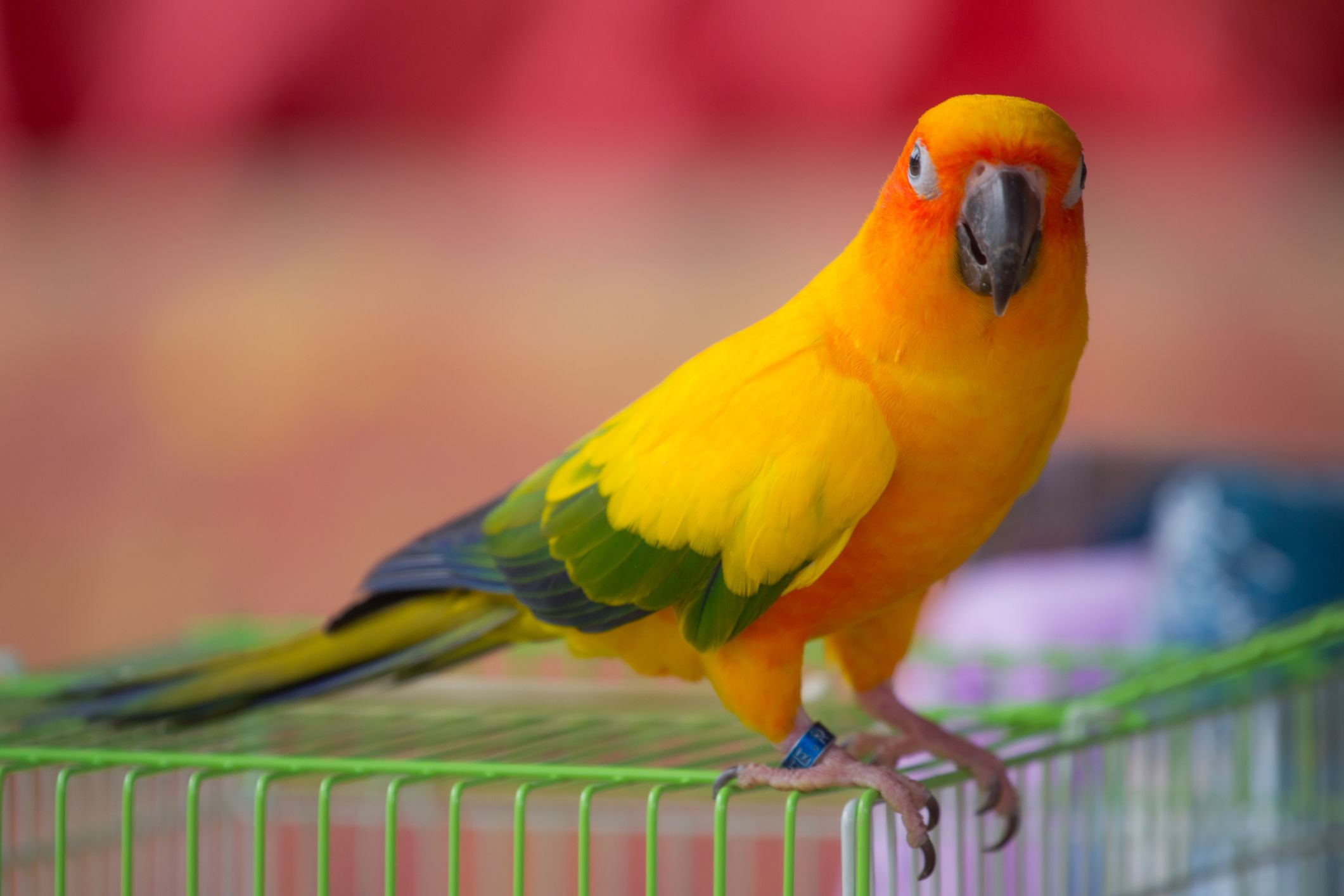 Sun Conure standing on cage with leg band