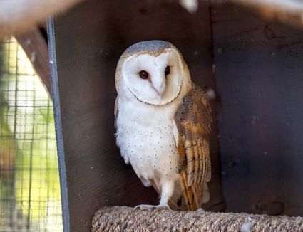 White and brown owl sitting on perch inside cage