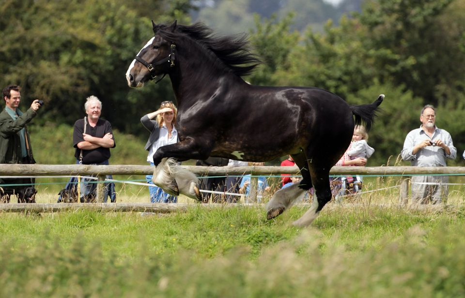 shire horse running in field