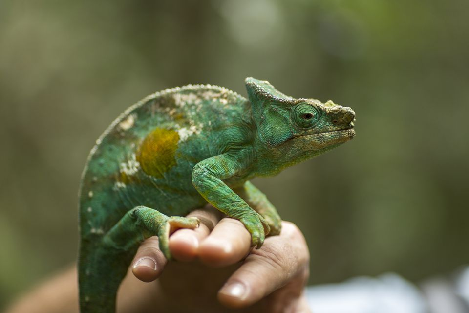 a chameleon sitting on a person's hand