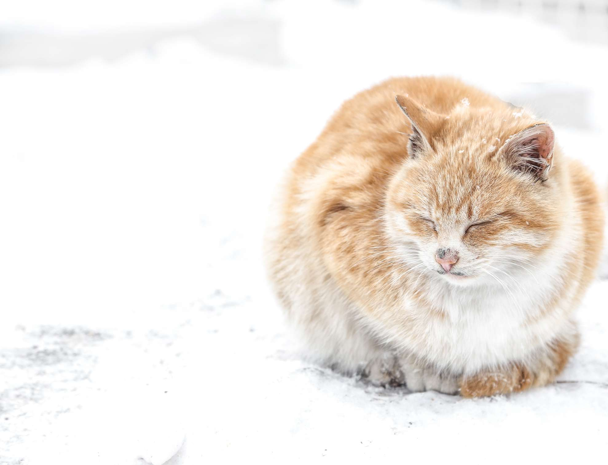 An orange cat with no tail huddled up in the snow.