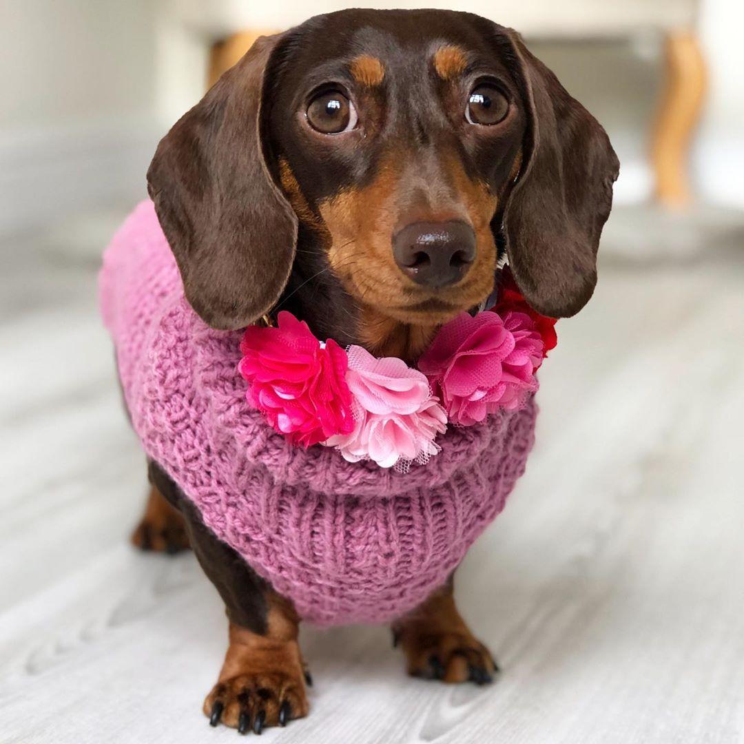 A dark brown miniature dachshund wearing a pink sweater.