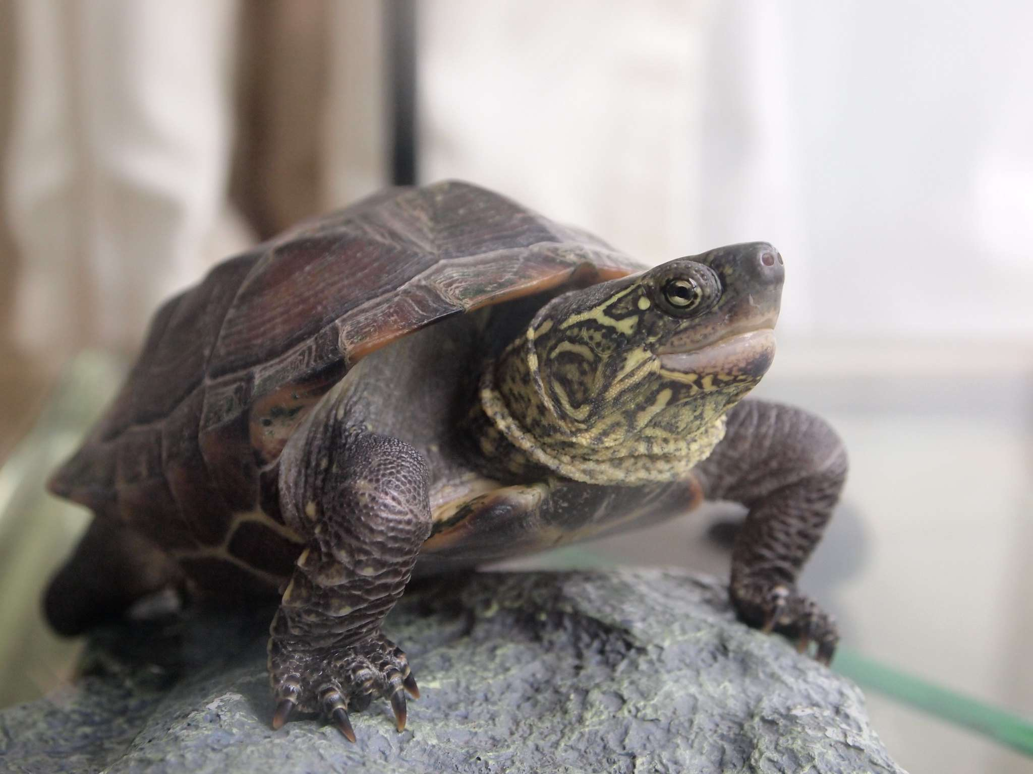 Reeve's Turtle basking on a rock