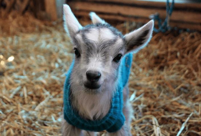 goat wearing sweater