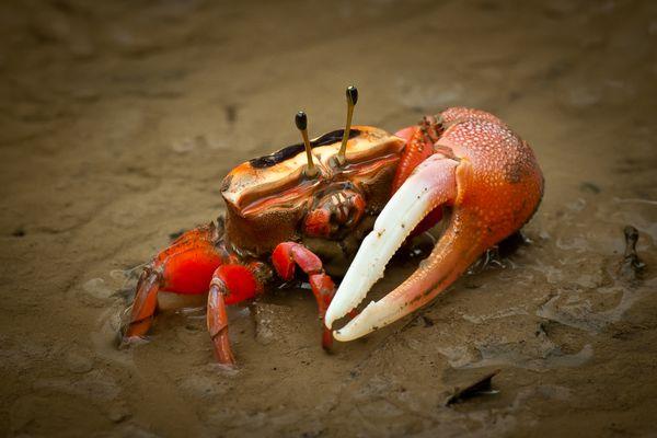 Male fiddler crab on wet sand
