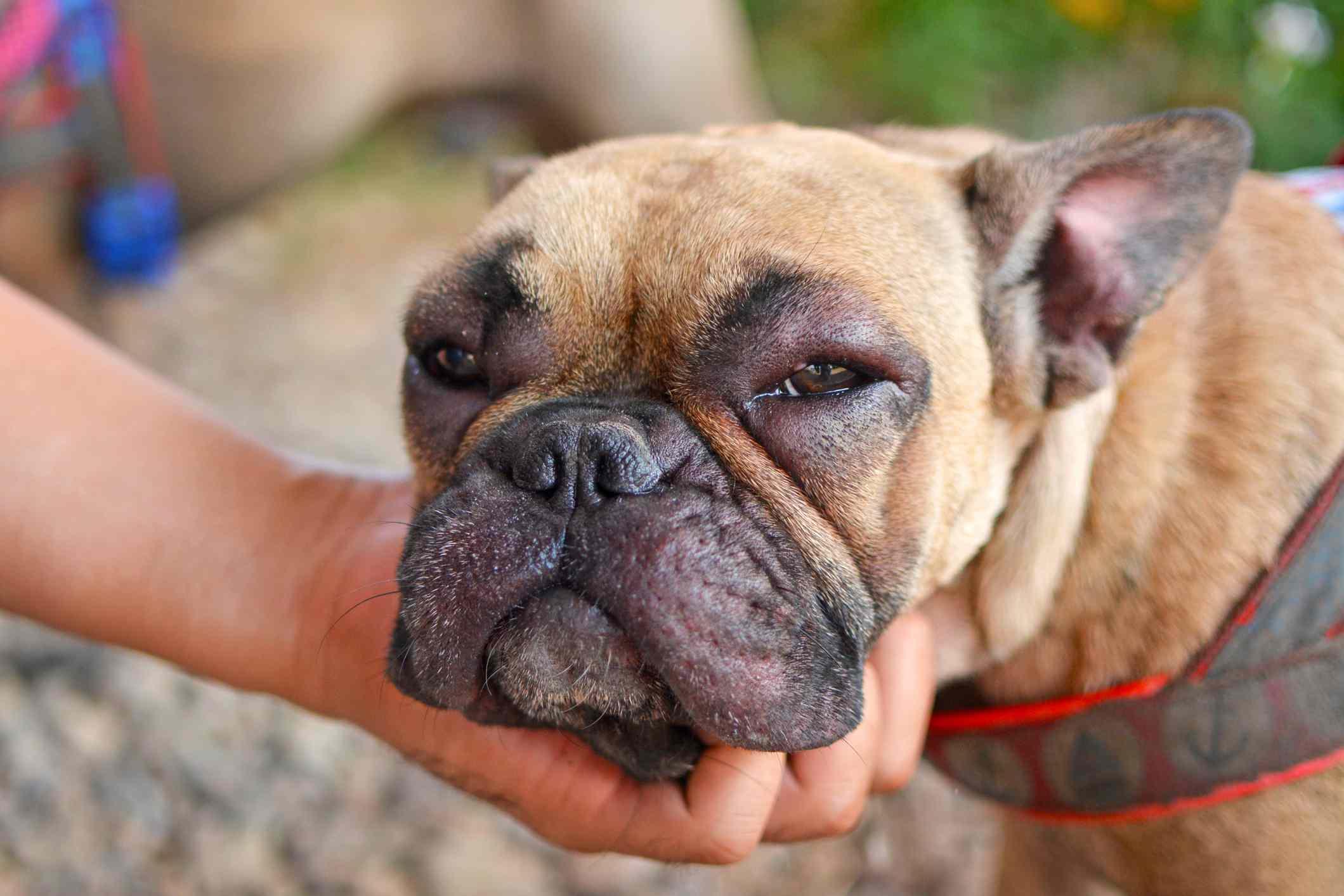Bulldog francés con hinchazón facial.