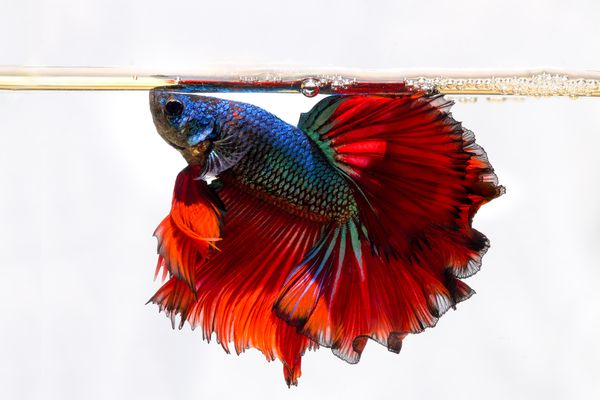 Siamese Fighting fish swimming against a white background.