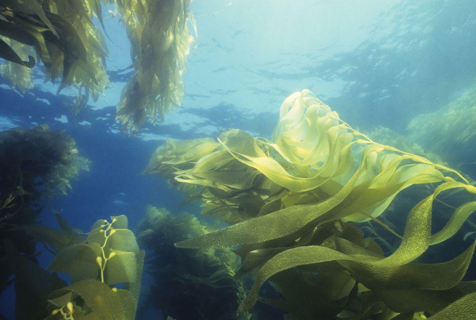 Waving seaweed in water