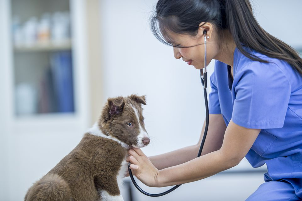 Vet listens to dog's heart with a stethoscope.