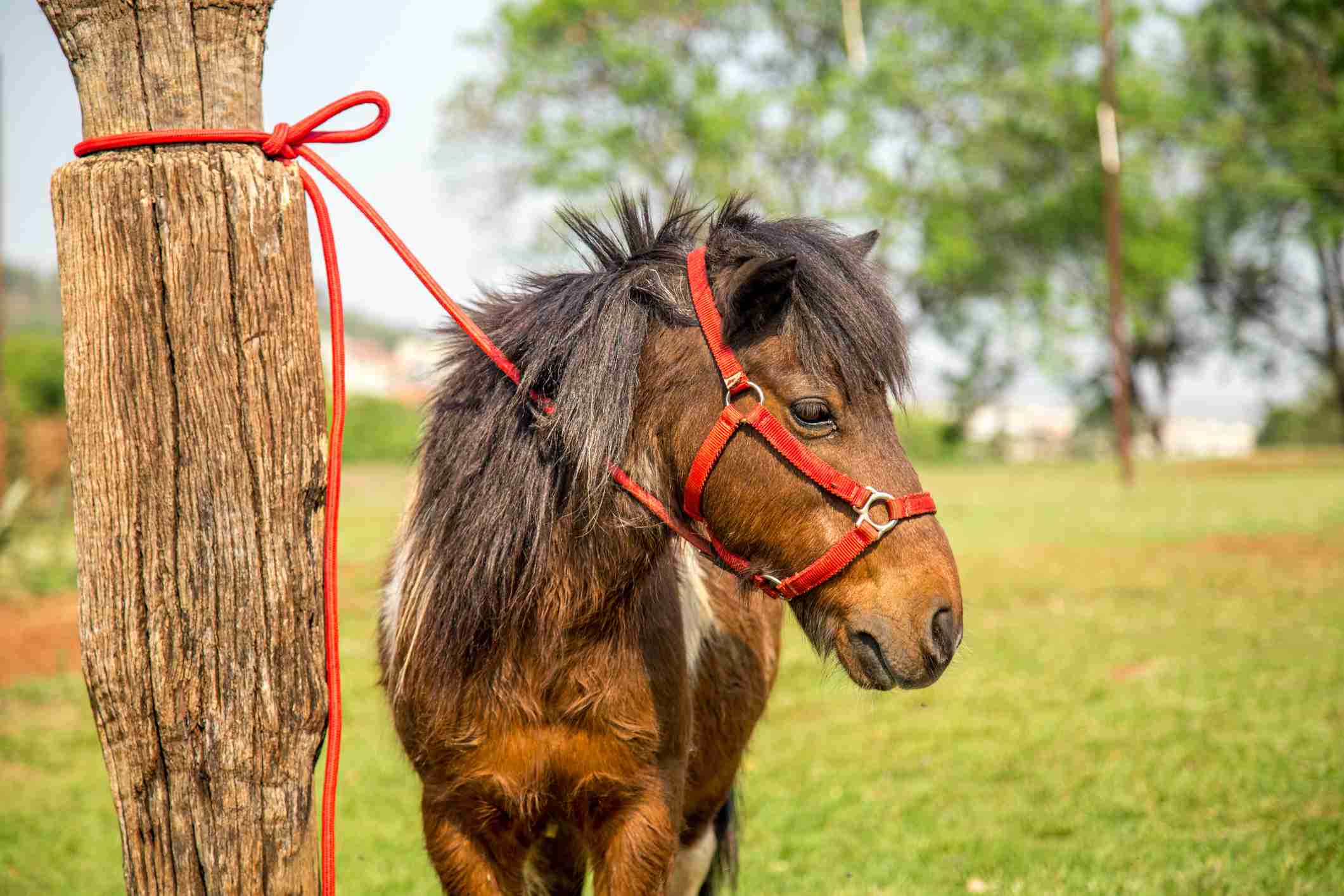 Horse tied with a short lease