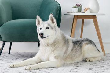 A Siberian husky lying on a rug