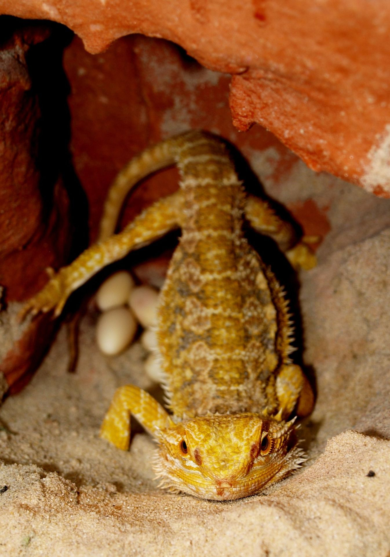 What To Do If Your Bearded Dragon Lays Eggs