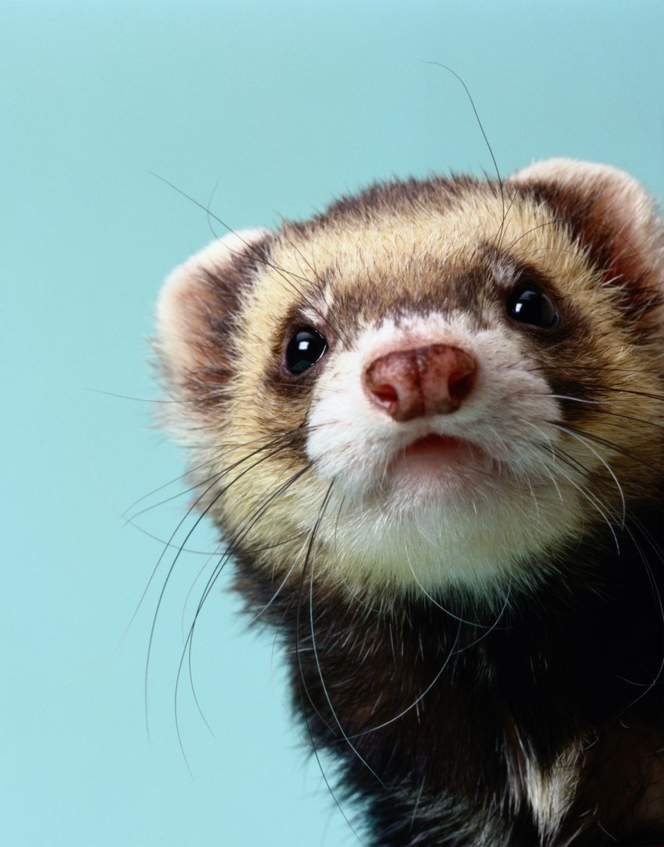 Ferret up close