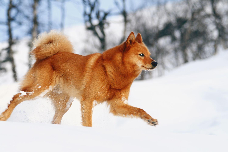 finnish spitz walking in snow