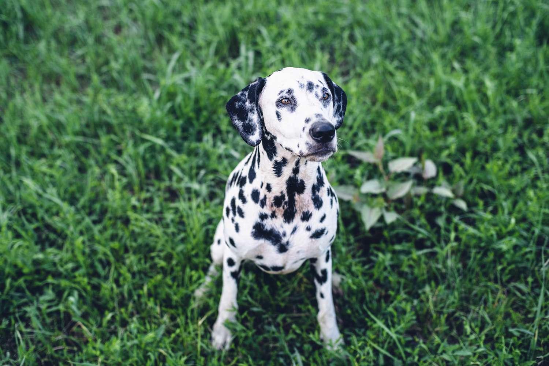 non-sporting group dog - dalmatian