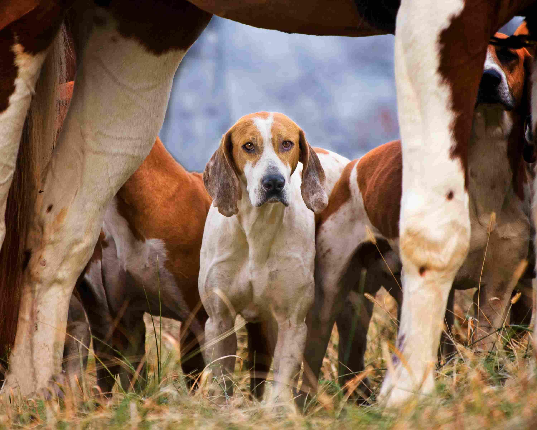Foxhound enmarcado por patas de caballo
