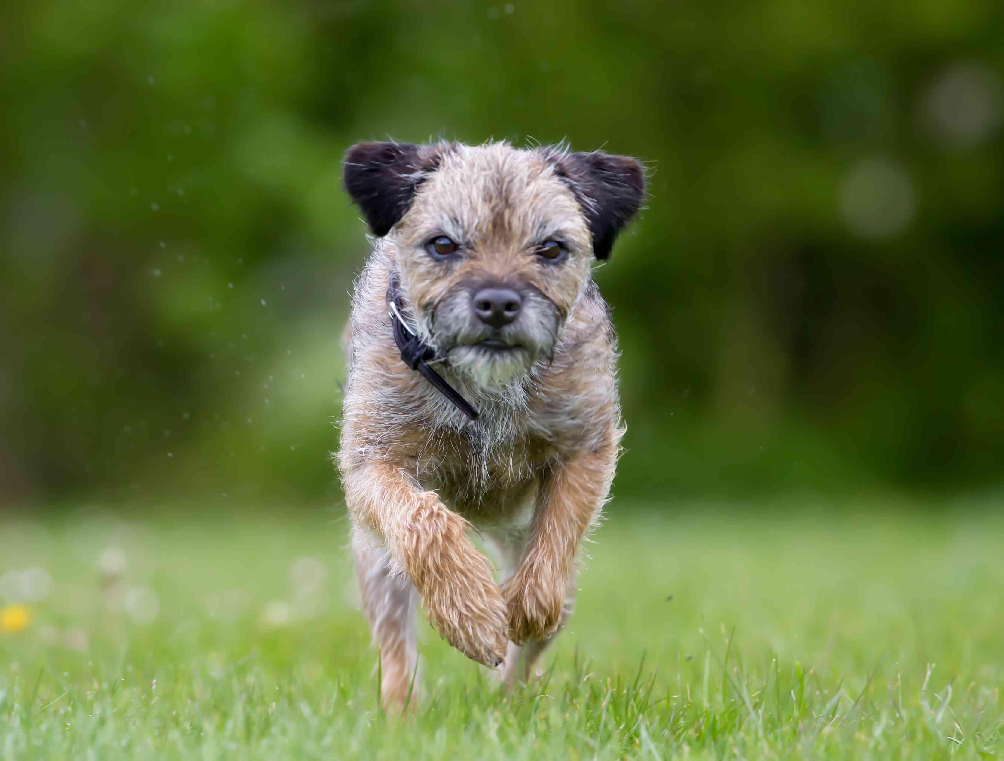 Border Terrier running