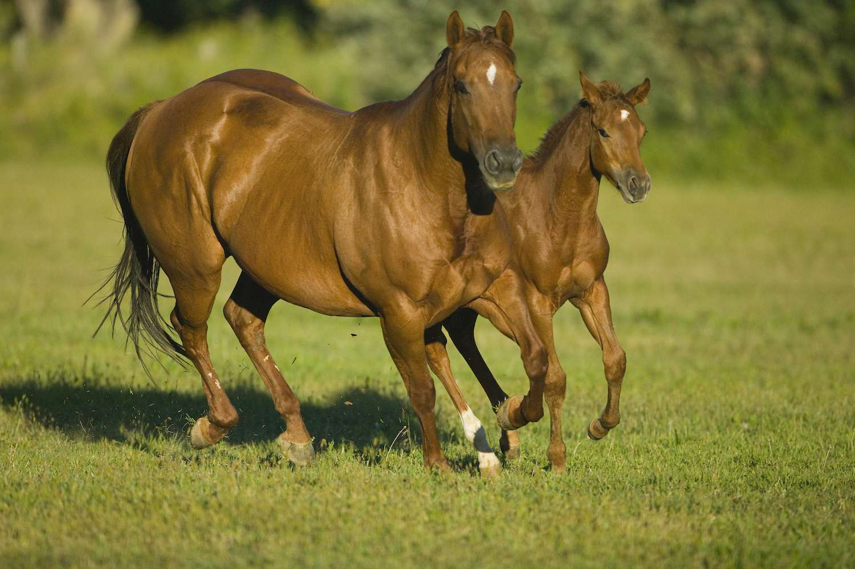 colt and mare quarter horses running