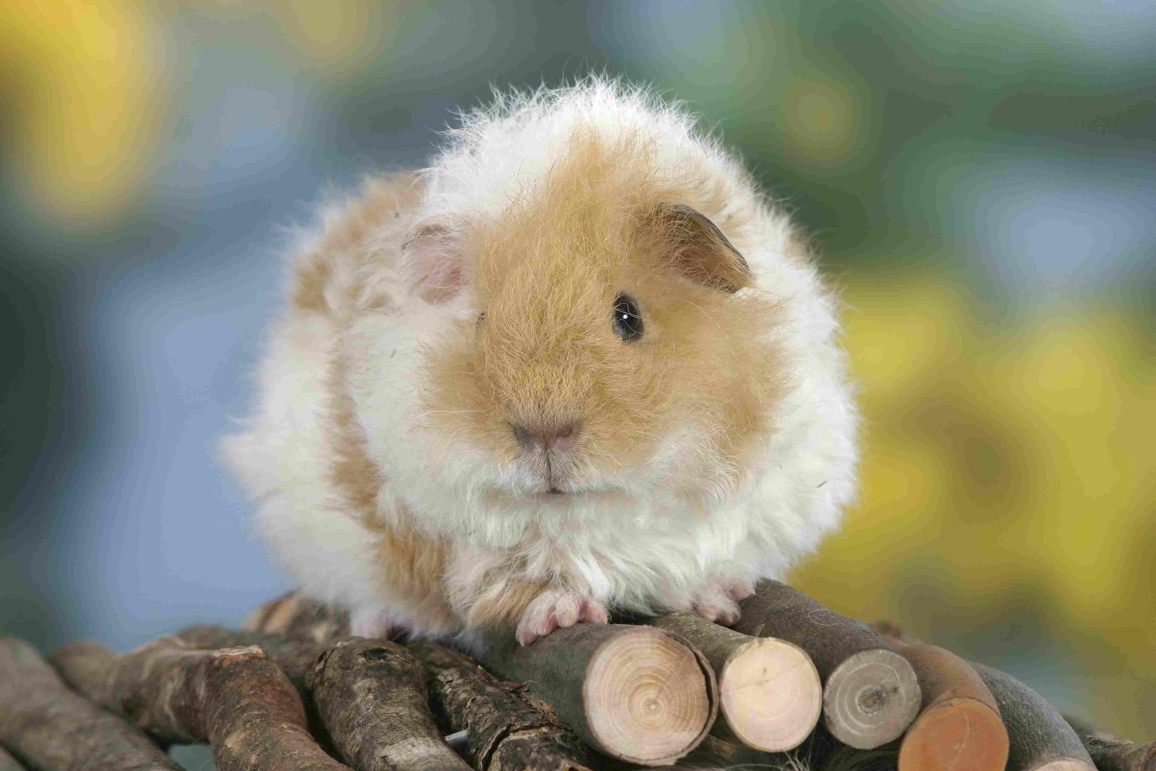 Un conejillo de indias blanco y texel