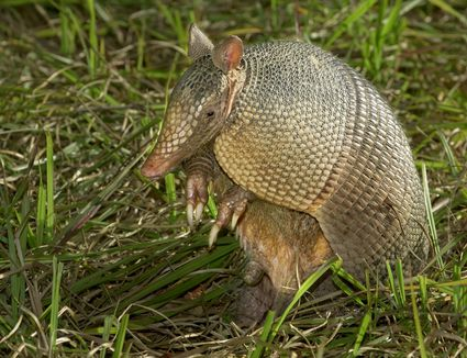 Armadillo sitting in the grass.