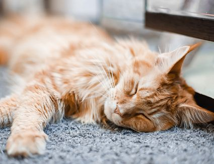 Maine coon cat lying on grey carpet.