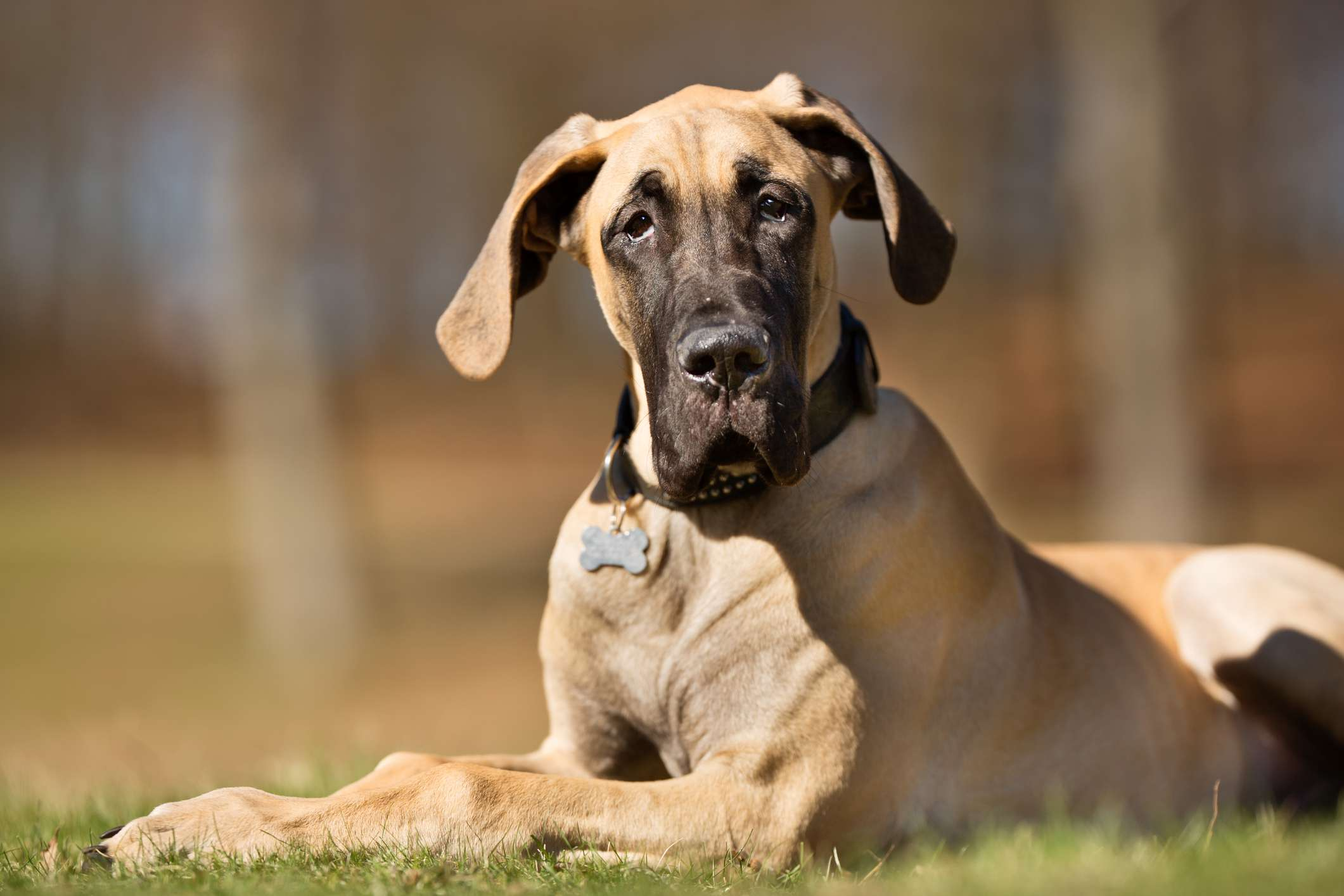 Fawn Great Dane lying in the grass