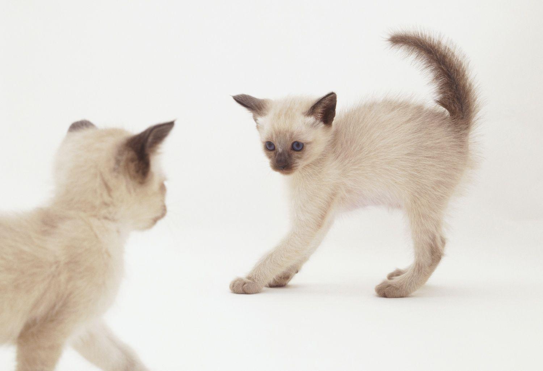 two tonkinese kittens