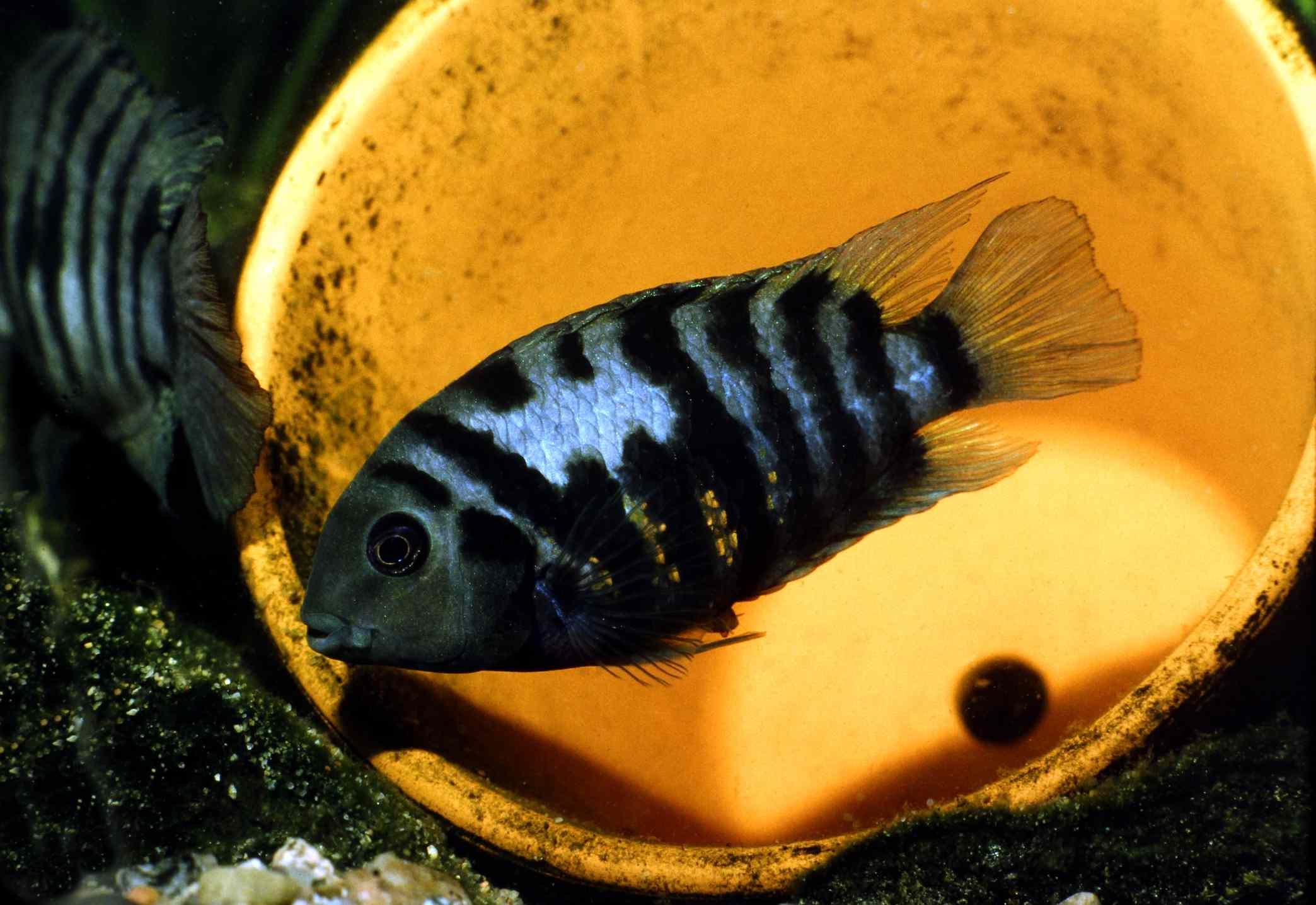Black/Zebra Convict Cichlid