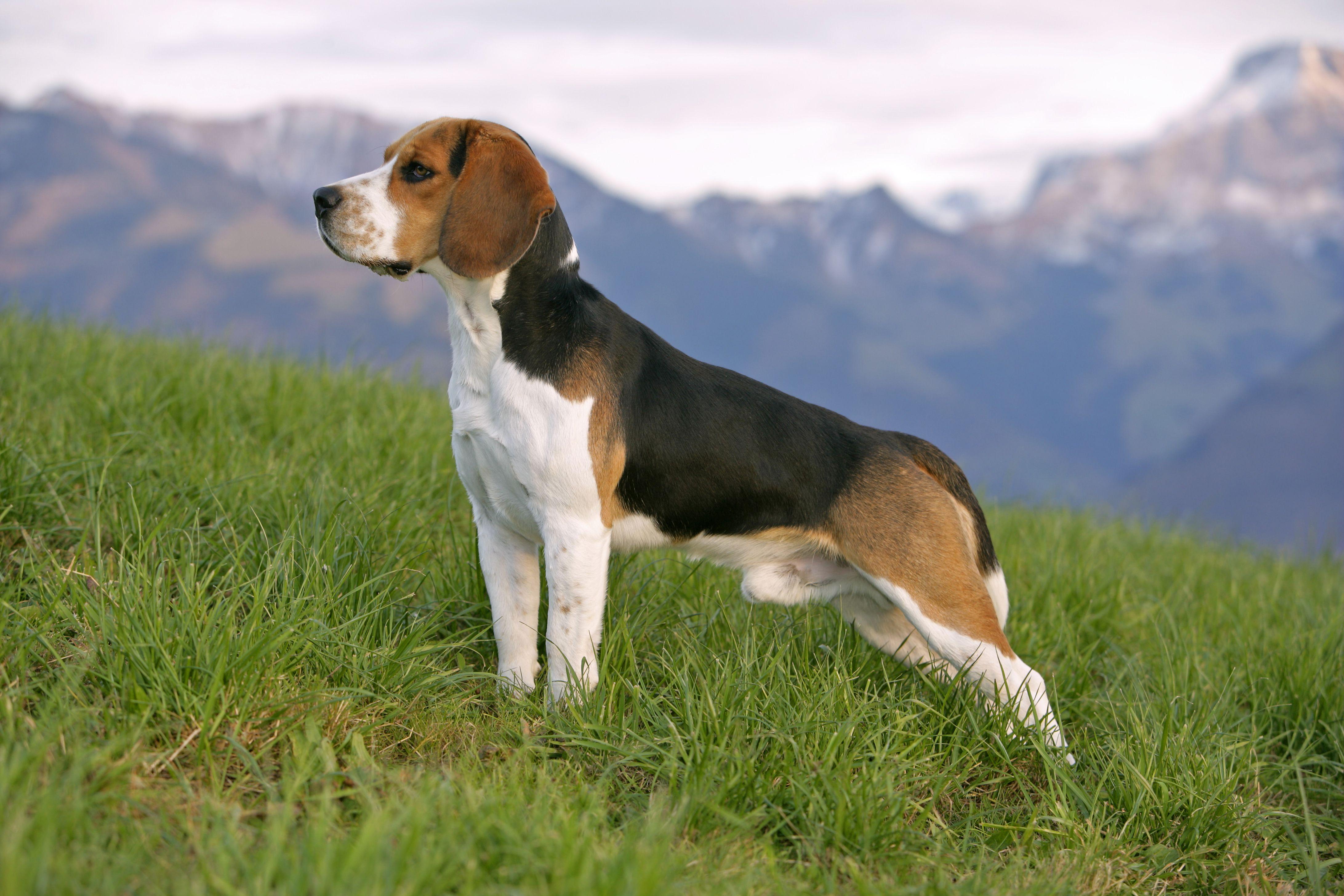 All About the Joyful Beagle