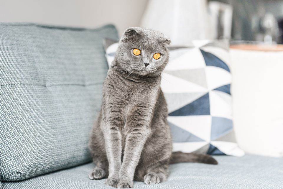 Gray Scottish fold cat with yellow eyes sitting on light blue couch