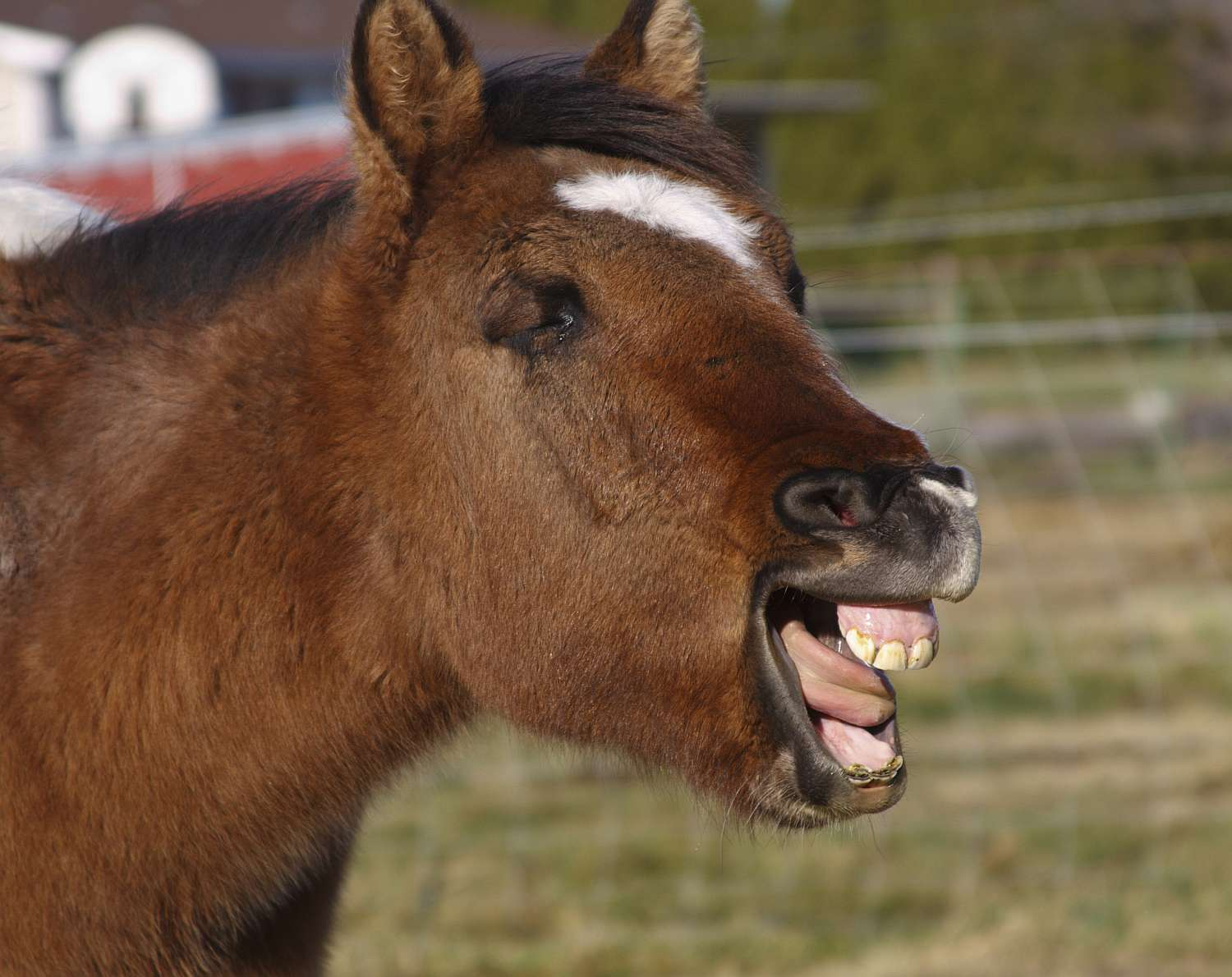 Yawning yearling colt