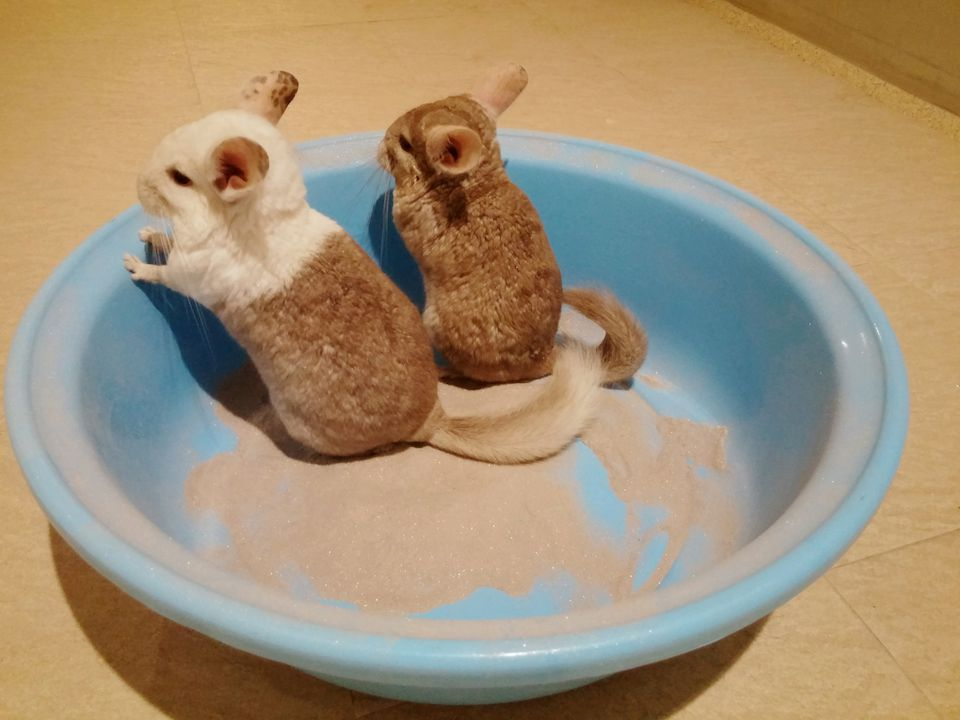 Chinchillas in a dust bath