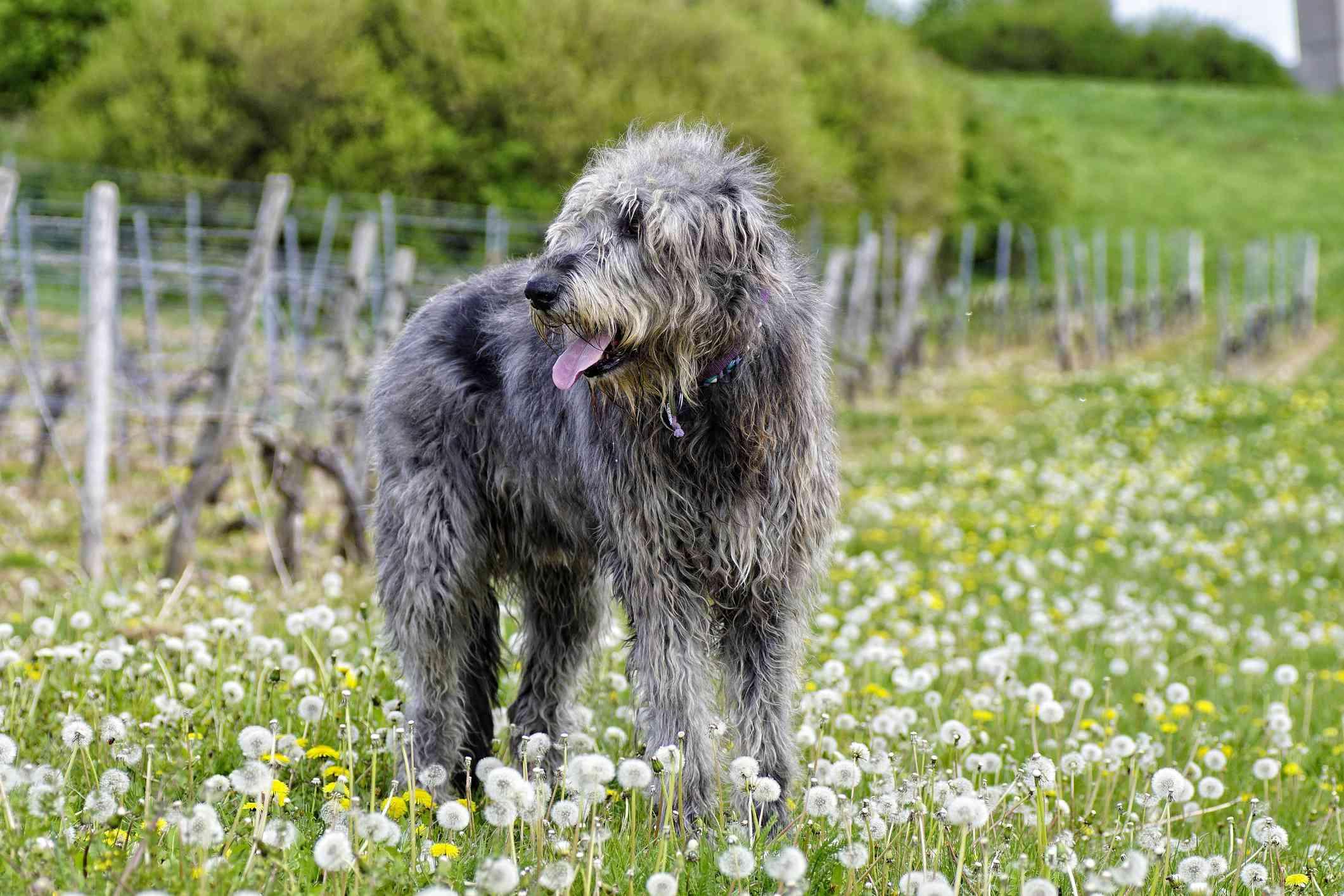 Blue Irish wolfhound