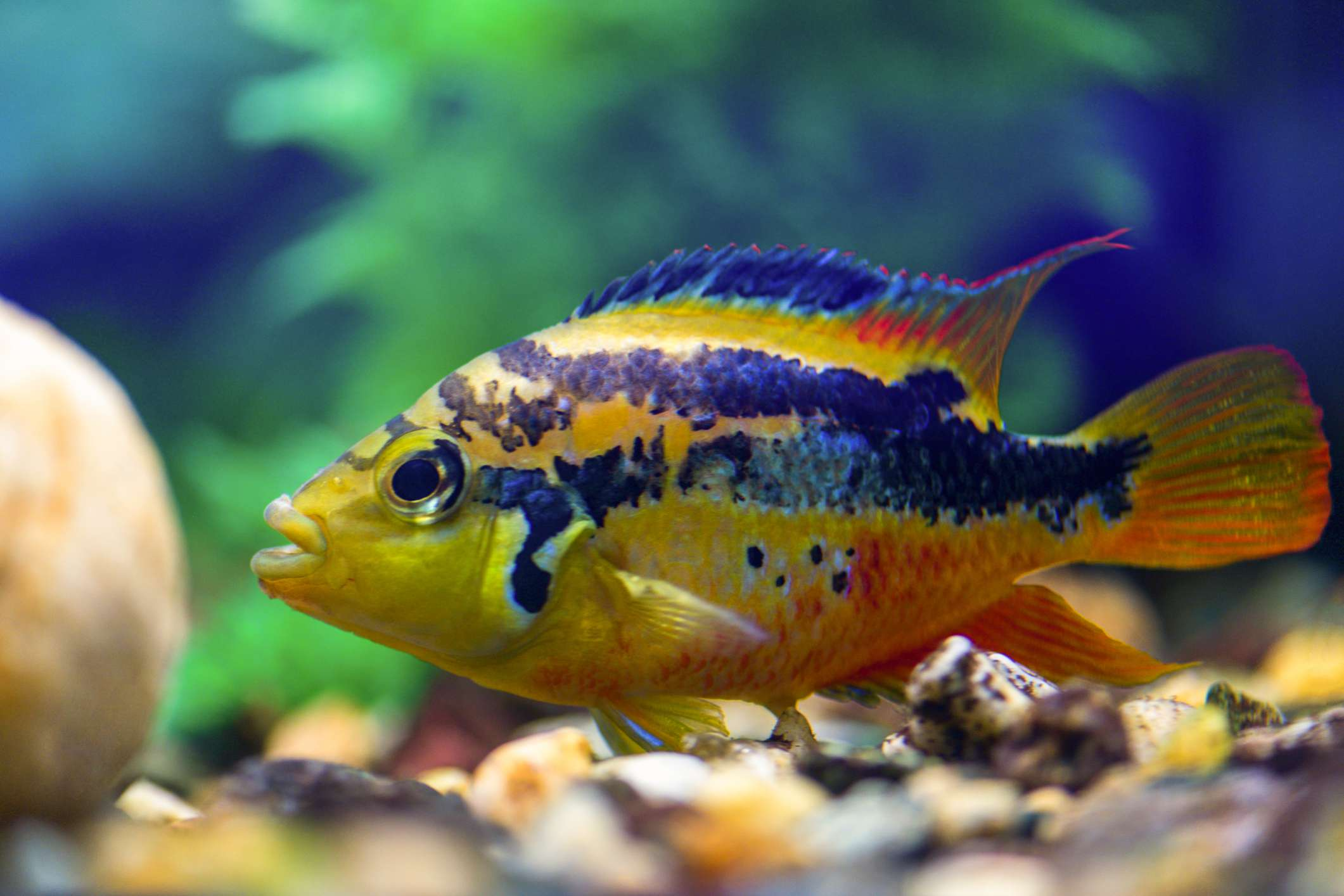 Salvini cichlid resting on bottom of aquarium