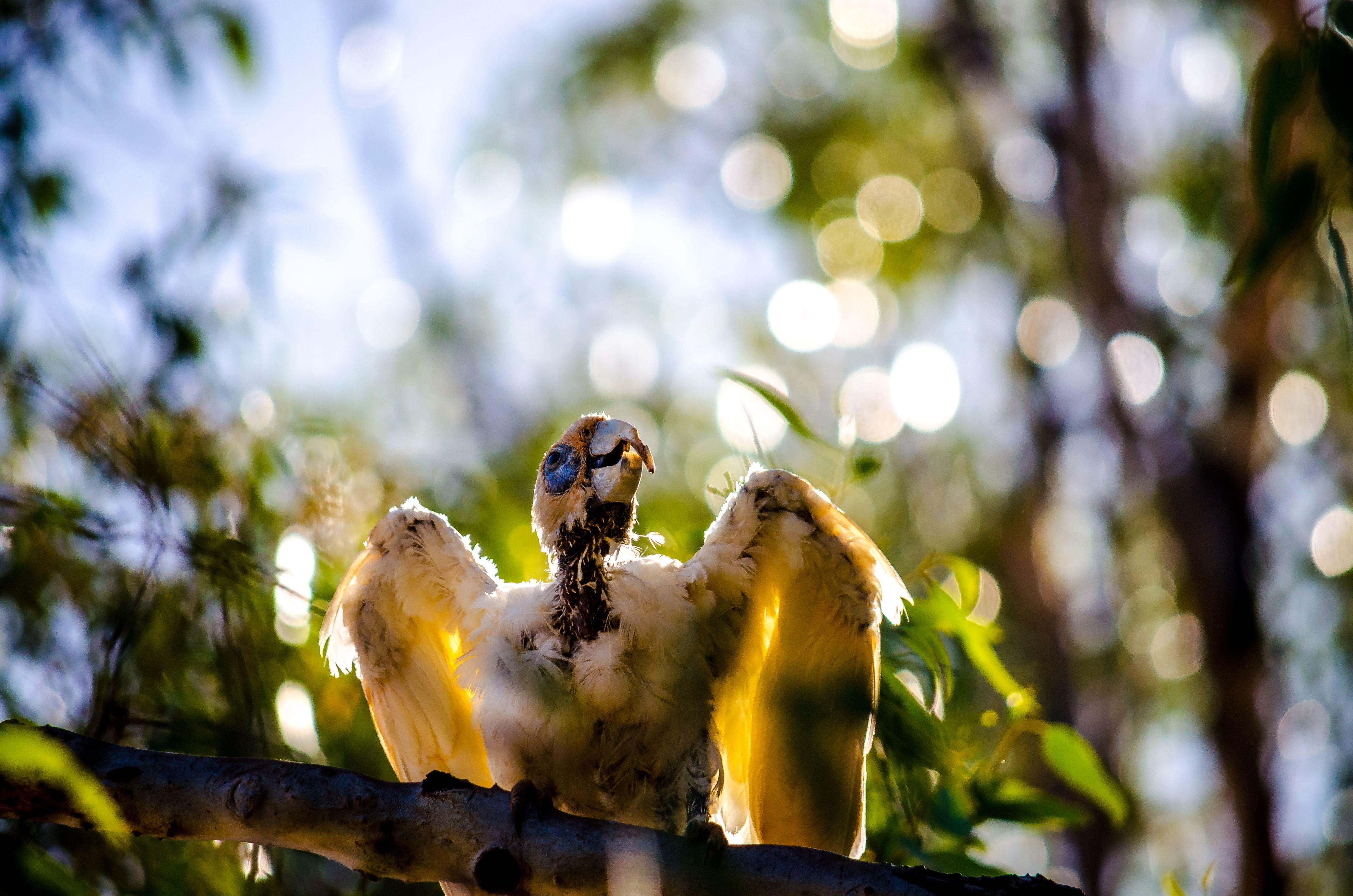 Western Corella or white cockatoo