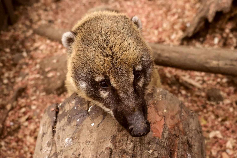 Coatimundi raccoon resting it's head on a large piece of wood