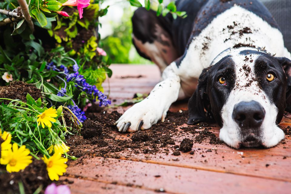 Black and white Great Dane looking at the camera and laying next to a dug up flower bed