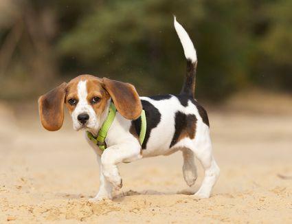 Beagle of 12 weeks