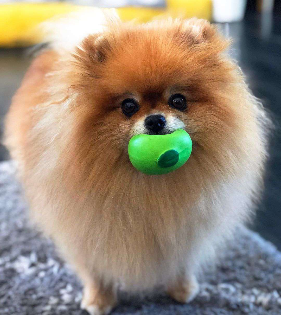 A fluffy tan pomeranian with a green ball in its mouth.