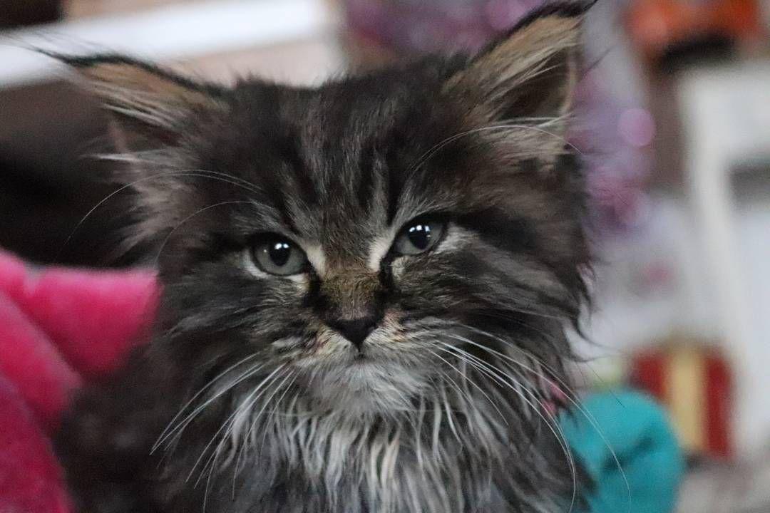 maine coon kitten shining eyes